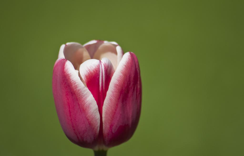 Tulip f/5.6 1/1000 240mm